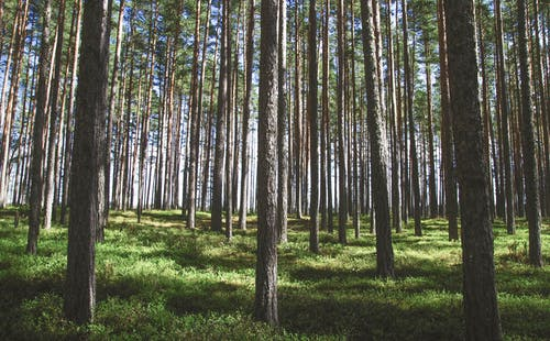 All Pine Trees Aren't the Same: It May be One of Several Species